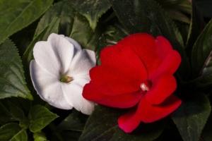 ホウセンカの種類を知ろう。品種や近縁植物とその特徴も紹介