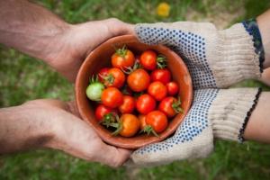 ミニトマトを栽培しよう。家庭で美味しく育てるためのポイント