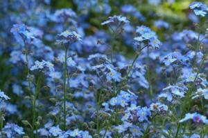 勿忘草(ワスレナグサ)の花言葉と由来 色別の花言葉や誕生花、種類
