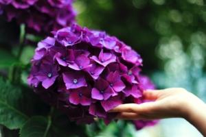 紫陽花(アジサイ)の土の作り方|土を配合して好みの花色を変える方法