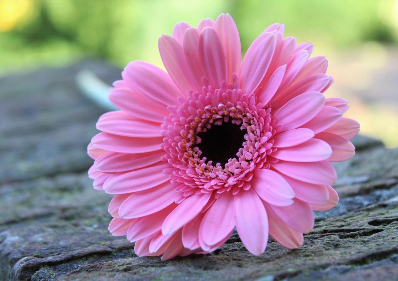 ガーベラ 花 言葉 ピンク