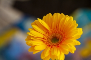 ガーベラにはどんな肥料が適している?きれいに咲かせるための育て方