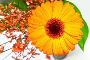 ガーベラの花言葉と由来!色別、本数別、英語の花言葉も