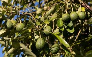 アボカドを水耕栽培で育てよう。手順とコツ、発芽後の育て方も