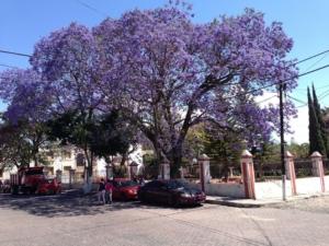 世界三大花木ジャカランダ。特徴や育て方、日本での名所を紹介