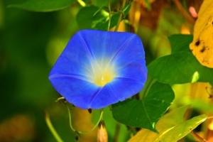 朝顔(アサガオ)の花言葉は怖い?由来や色別の意味を紹介!