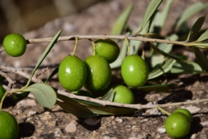オリーブの特徴や種類の選び方。目的別のおすすめ品種9選