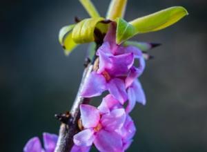香りのよい沈丁花の特徴や品種。苗からの育て方やお手入れ方法も紹介