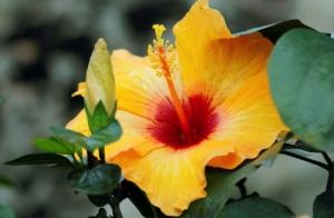ハイビスカスの種類や品種を紹介。タイプ別おすすめ6選