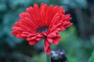 ガーベラの上手な育て方。栽培環境や水やり、肥料はどうする?