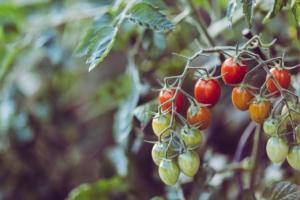 トマトを挿し木で増やす方法とは?脇芽を使って失敗しないコツ