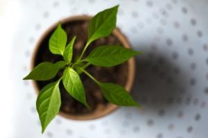 バジル栽培に向いた土とは。選び方やおすすめを紹介