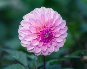 ダリアが買える季節はいつ?新鮮な花の見分け方や長持ちさせる方法