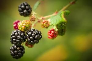 ブルーベリーの育て方を知って栽培を楽しもう。流れとポイント解説