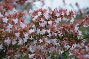 アベリアの花言葉の意味・由来|花の特徴や種類・誕生花も紹介