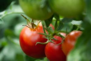トマトに追肥するタイミングとは?栄養状況の見極め方やおすすめ肥料