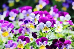 3月11日の誕生花|花言葉の由来、誕生日の有名人、何の日かも解説