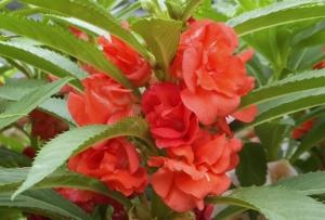 ホウセンカ(鳳仙花)の花言葉は短気?英語の意味や由来も紹介