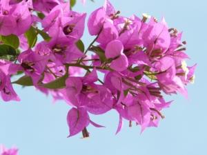 ブーゲンビリアの花言葉|色別、英語の意味や見頃の季節は?