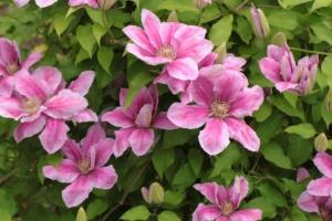 クレマチスの花言葉|花言葉や花名の由来、種類、歴史は?