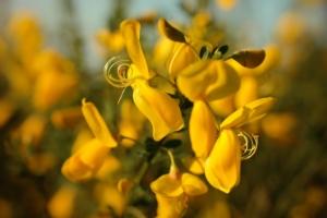 エニシダの花言葉の意味・由来 花の特徴や種類・誕生花も紹介
