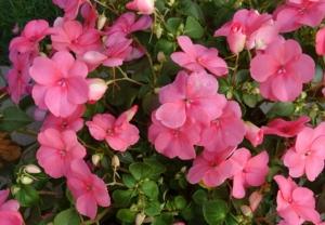 インパチェンスの花言葉の意味・由来 花の特徴や種類・誕生花も紹介