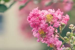 百日紅(サルスベリ)の花言葉|花名の由来や色・種類・英語の意味も