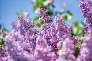 ライラック(リラ)の花言葉(紫・白)は?誕生花、由来、言い伝えも