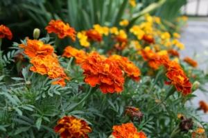 マリーゴールドの花言葉は?「絶望」の理由、誕生花、由来、贈り方も