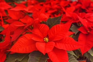 12月に咲く花一覧!ガーデニングで人気の品種の特徴や花言葉も紹介