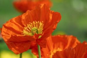 ポピーの花言葉(赤・白・黄)と由来は?西洋の花言葉、誕生花も紹介