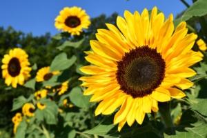 ひまわりの花言葉|色、本数別、英語の意味は?怖い意味もある?