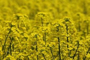 5月1日の誕生花|花言葉の由来、誕生日の有名人、何の日かも解説