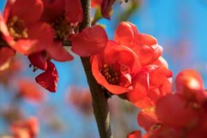 カリン(花梨)の花言葉の意味・由来 花の特徴や種類・誕生花も紹介