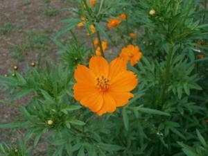 キバナコスモスの花言葉の意味・由来|花の特徴や種類・誕生花も紹介
