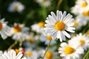 デイジーの花言葉 色別の意味や由来、種類・品種、怖い意味もある?