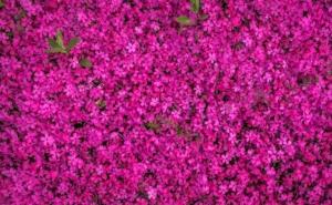 4月29日の誕生花|花言葉の由来、誕生日の有名人、何の日かも解説