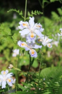 シャガ(著莪)の花言葉の意味・由来 花の特徴や種類・誕生花も紹介