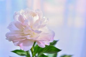 芍薬(シャクヤク)の花言葉|種類・色別の意味や英語名、花名の由来