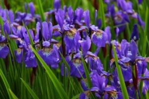 5月5日の誕生花 花言葉の由来、誕生日の有名人、何の日かも解説