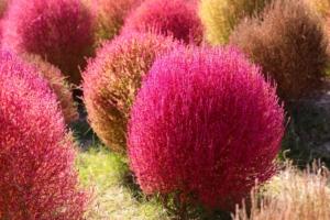 コキア(ほうき草)の花言葉の意味・由来|花の特徴や種類・誕生花も
