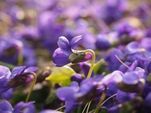 スミレ(菫)の花言葉|色別・英語の意味や花名の由来、怖い意味も?