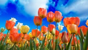 チューリップの花言葉|色・本数・種類別の意味や由来、怖い意味も?