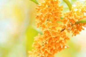 キンモクセイとは?花の特徴・花言葉・育て方・手入れ方法を紹介!