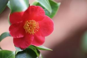 椿(ツバキ)の花言葉と由来|色・品種別・英語の花言葉、怖い意味は?