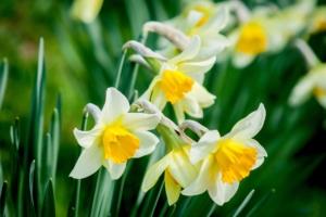水仙(スイセン)の花言葉と由来|色・品種別・英語の花言葉、怖い意味は?