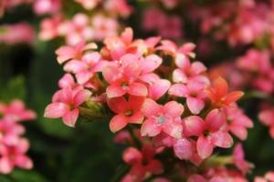 カランコエの花言葉と由来|品種、色別・英語の花言葉、怖い意味は?
