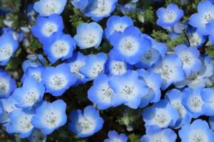 ネモフィラの花言葉と由来|色・品種別・英語の花言葉、怖い意味は?