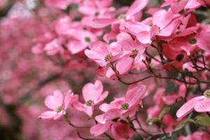 ハナミズキの花言葉と由来|品種、英語の花言葉、怖い意味もある?