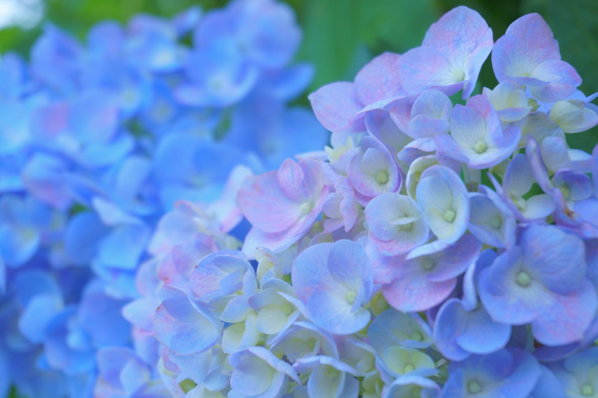 紫陽花 挿し木 時期